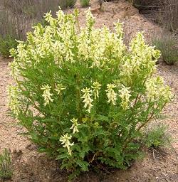 Astragalus Plant